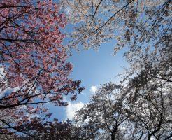 昭和記念公園でお花見のデート